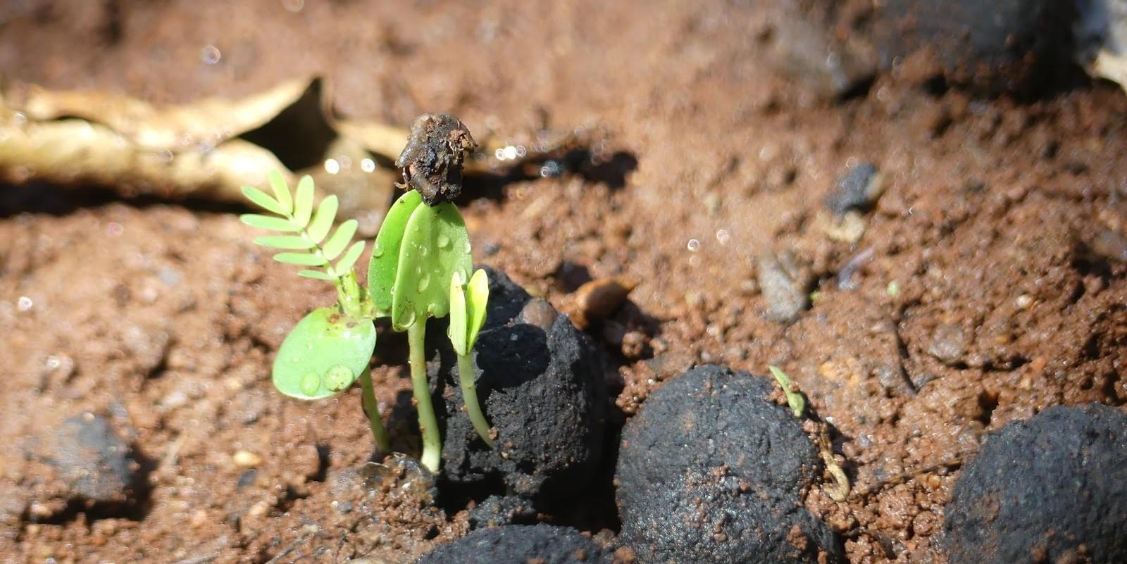 Bilele cu seminte. Solutie pentru paduri